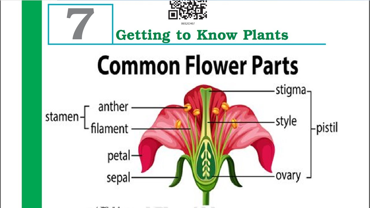 Class 6 Science Chapter 7 Parts of flower (Getting to know ...