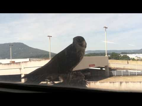 Peregrine dines in downtown Chattanooga