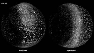 1. Tag eines Zebrafisch-Embryos (Teil 1)