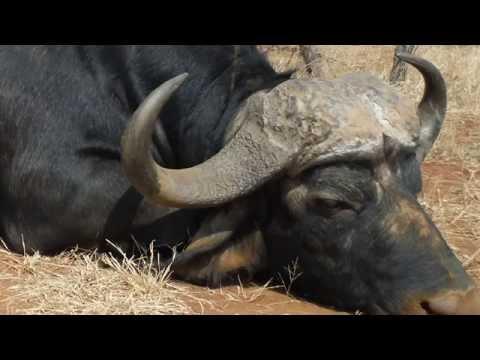Deadly Cape Buffalo Speared.