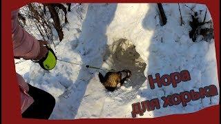 Нора в снегу для хорька. Вороны хотят напасть. Семён играется)