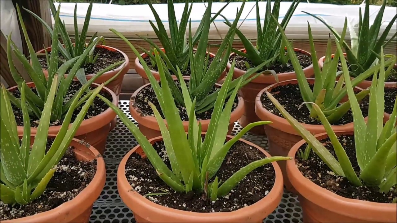 save the aloe pups how to propagate aloe vera youtube. Black Bedroom Furniture Sets. Home Design Ideas