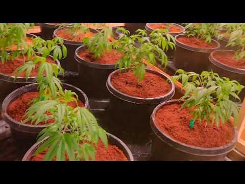 A Tour of Elite Genetics Marijuana Garden