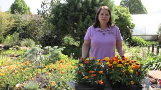 How to Keep Marigolds From Getting Too Leggy When Growing Them From Seed : Grow Guru