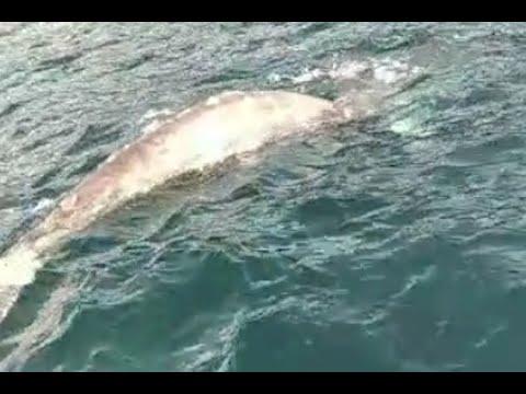 Avvistata una balena nel golfo di Napoli
