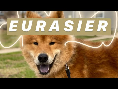 Video of RARE dog breed (EURASIER!) + tricks!