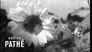 Sunflower Harvest (1949)