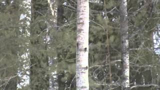 Рябушок. Видео охота на рябчика с манком 19мар16г