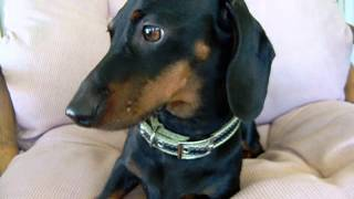 Le Caring's Akc Dachshunds  Rescue Louie 9 4 2013