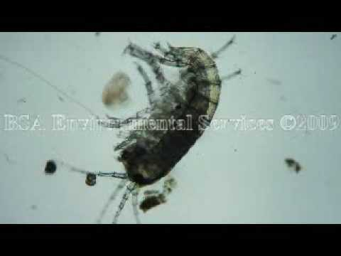 Amphipod (Scud)