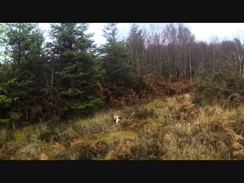 Hunting pheasants and woodcock over pointers & springer spaniels
