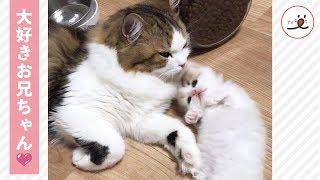 お兄ちゃん猫にあそんで欲しくてチョッカイを出す子猫ちゃん🐱💕 【PECO TV】 thumbnail