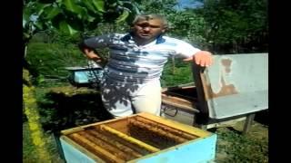 Saxta ana arının təyin edilməsi