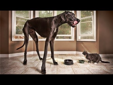 Zeus, The World's Tallest Dog Ever Lived