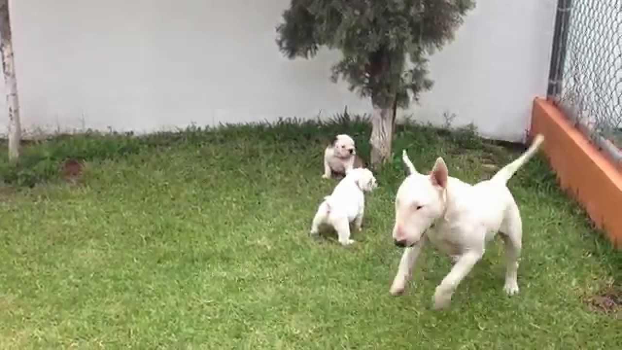 Bulldog ingles vs bull terrier ingles youtube - Bulldog frances gratis madrid ...