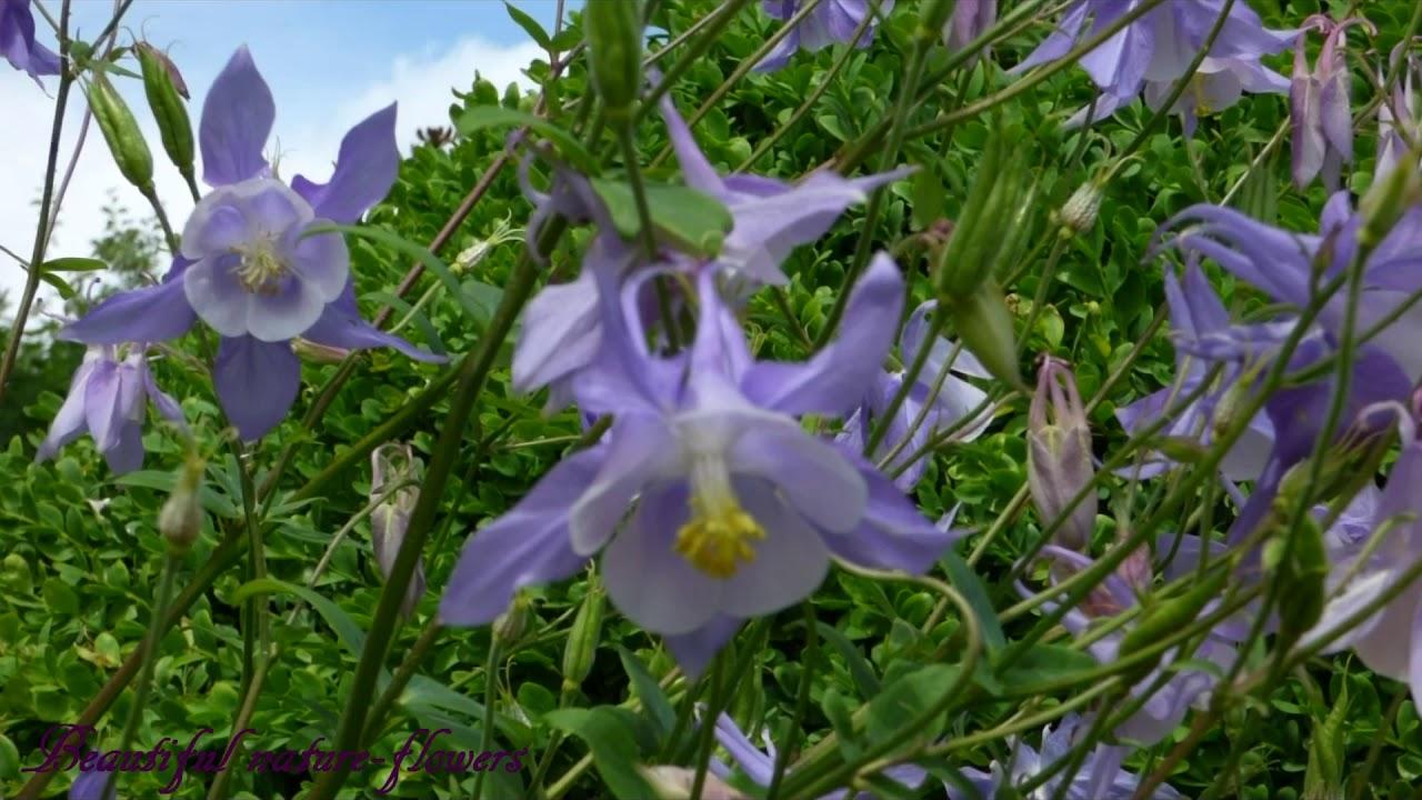 Grannys bonnet columbine flower aquilegia vulgarisharanglb vagy grannys bonnet columbine flower aquilegia vulgarisharanglb vagy sasf izmirmasajfo
