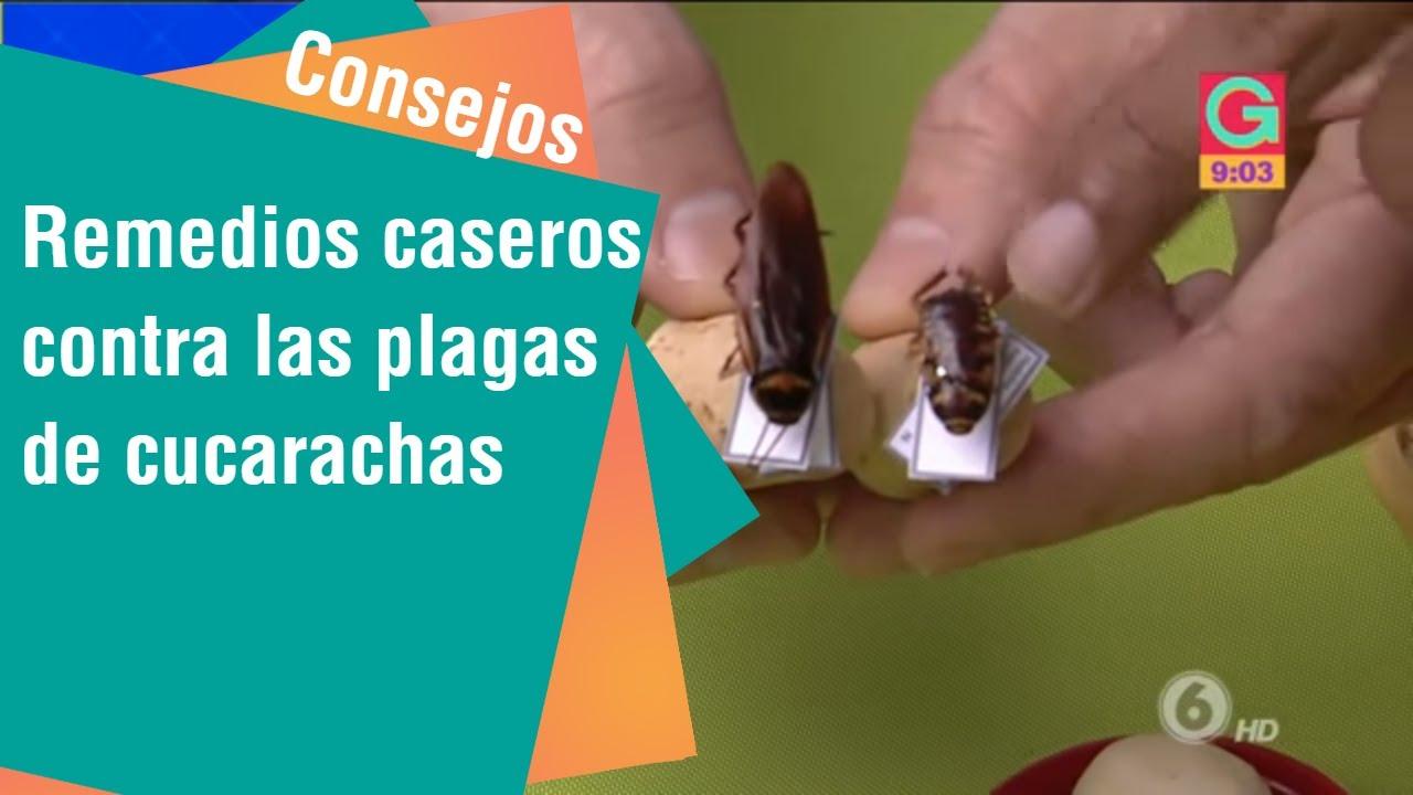 Remedios Caseros Contra Las Plagas De Cucarachas Consejos Para Usted Youtube