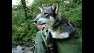 передвижение собаки после укуса змеи