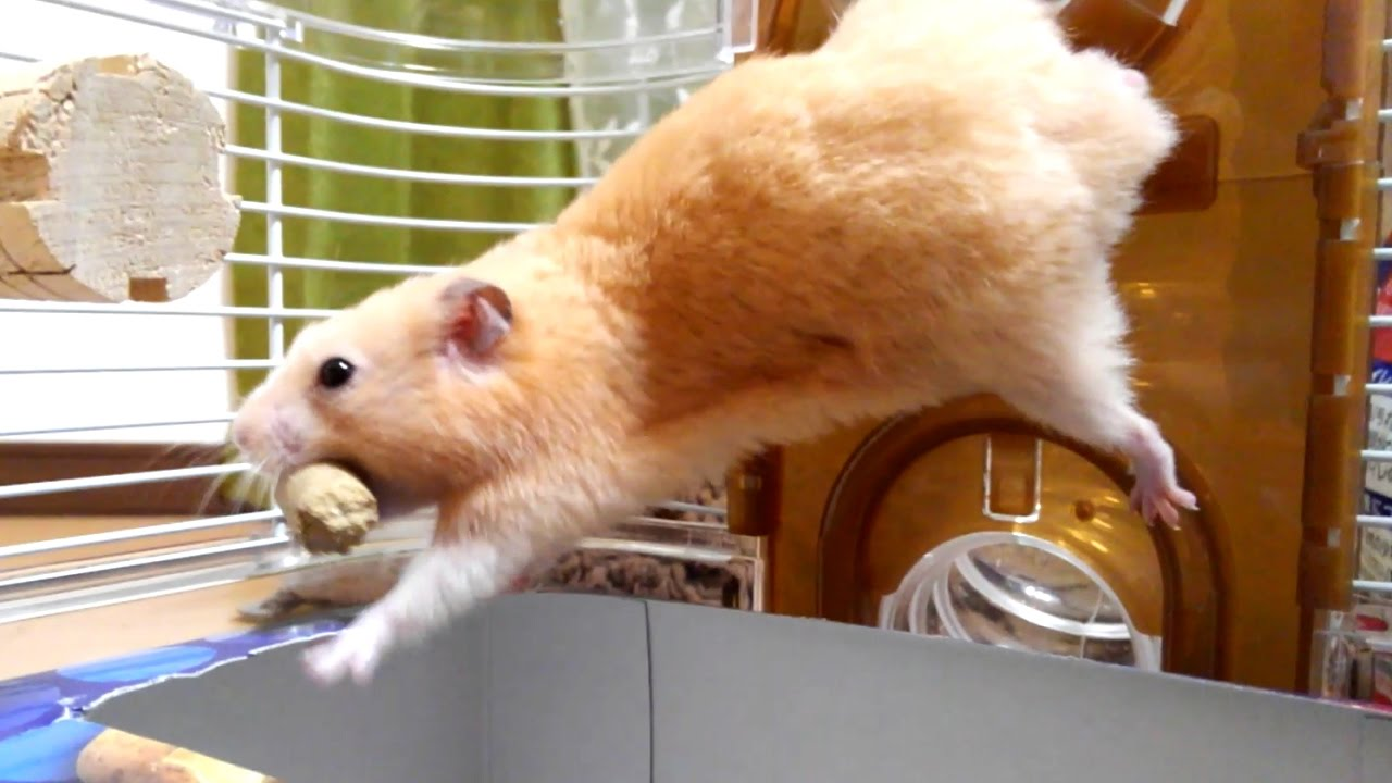 大きすぎる餌でハプニング続出!逆再生で笑える!おもしろ可愛いハムスターThe hamster to which an accident happens by too large feed