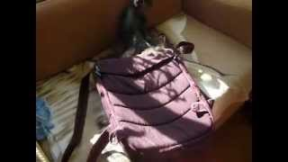 Игры йорка и британского котенка