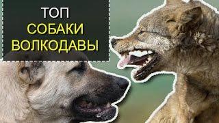 ТОП 5 Волкодавы – самые мощные собаки в мире