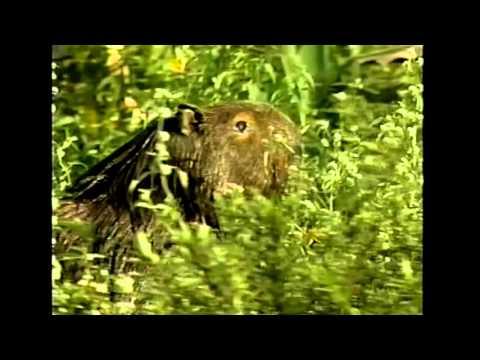 Pantanal (Rede Manchete), 1990