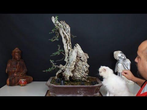 Acebuche de Santiago final - Gopro bonsai