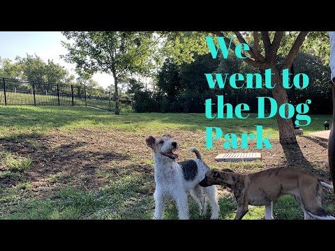 WHIPPET PUPPY FIRST TIME going to the Dog Park | White Rock Lake Dog Park | Vlog #4