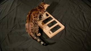 Bengal Cat Intelligence - The Sequel (HD 1080p)