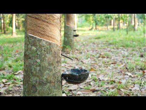 Curso Cultivo de Seringueira Para Produção de Borracha Natural - Sangria