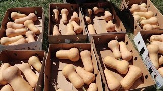 How To Cure aฑd Store Butternut Squash! (To Last All Winter!) Garden Harvest Preservation