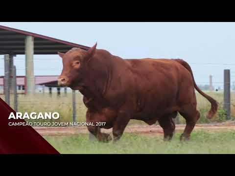 Touro Aragano - Red Brangus indicado para IATF - RENASCER BIOTECNOLOGIA VIDEO