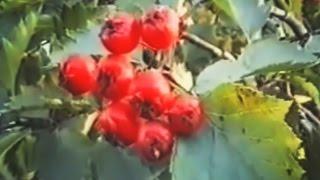 видео Листья брусники - лечебные свойства и противопоказания. Применение брусничного листа в народной медицине - Lechilka.com