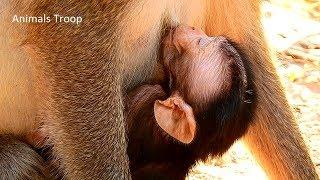 Look very healthy newborn monkey, Sweeties and lovely newborn monkey