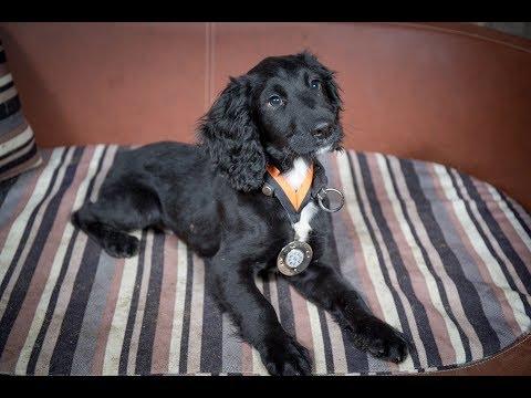 Draper - Sprocker Puppy - 3 Weeks Residential Dog Training
