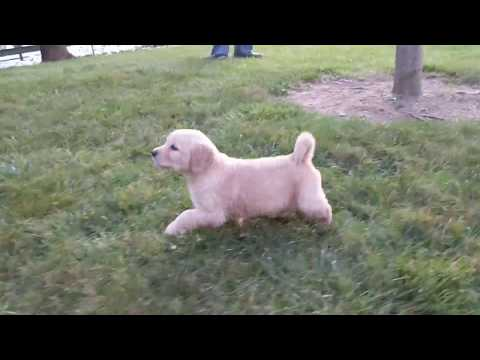 Lilly - light Golden Retriever Puppy - Ohio Breeder