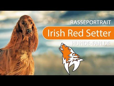 Irish Red Setter [2019] Rasse, Aussehen & Charakter