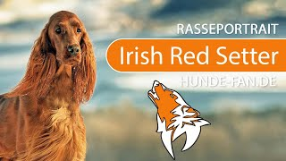 Irish Red Setter [2019] Breed, Appearance & Character