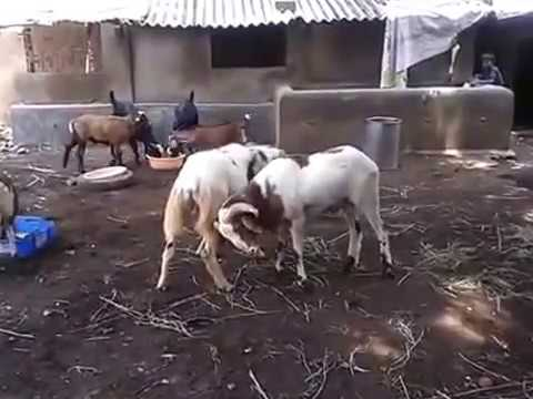 Big Sheep Fight India Hyderabad Telangana
