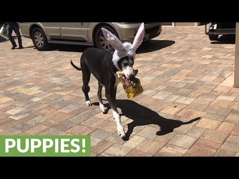 Great Dane with Easter bunny ears delivers dog treats