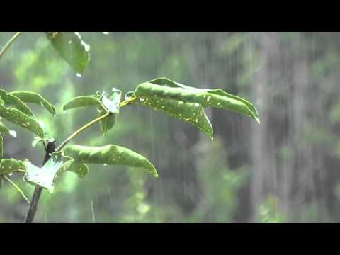 Rain Sounds: Relaxing Rain without Thunders for Relaxation - Relaxing Sounds of Nature, No Thunders