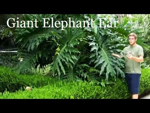 "#Philodendron Plant* +""Giant Elephant Ear""+ALT Privacy Fence+"