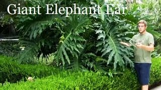 """#Philodendron Plant* +""""Giant Elephant Ear""""+ALT Privacy Fence+"""