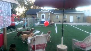 Dogs And Balloon At The Pooch Palace