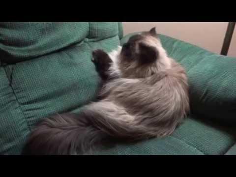 Bentley....sweet Himalayan cat.