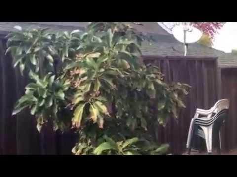 The Amazing Reed Avocado Tree