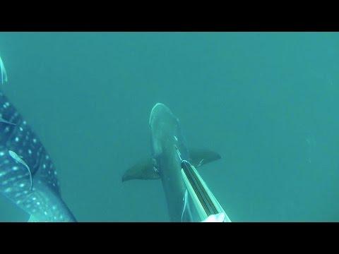 WhaleShark & Cobia Shot