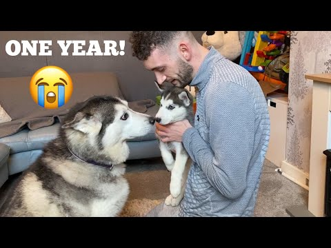 Scared Husky Puppies One Year Transformation Into Our Family! [CUTEST VIDEO EVER!]