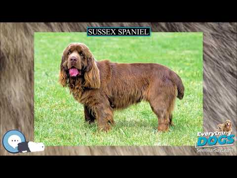 Sussex Spaniel  Everything Dog Breeds