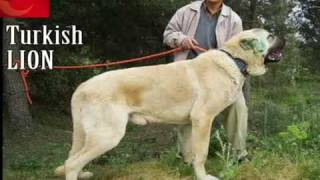 Turkish Kangal - The biggest Dog in the World [HQ]